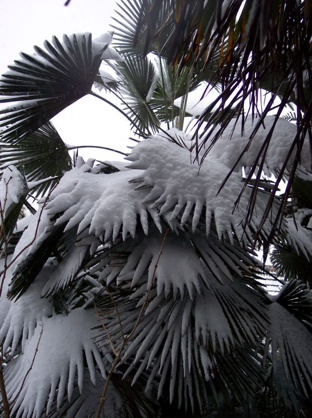 Trachycarpus wagnerianus in the snow in my NE London garden