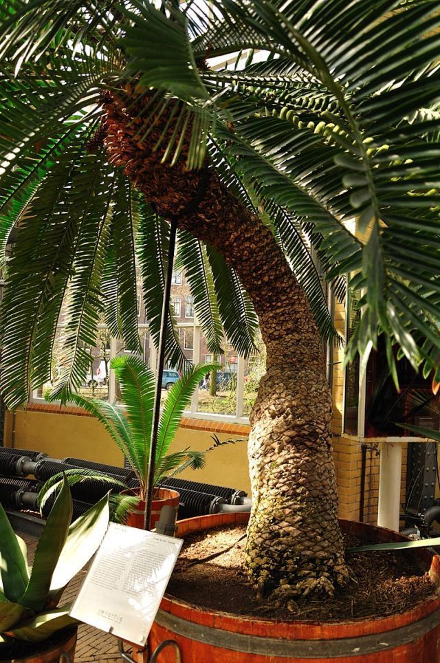 One of its oldest Cycad residents