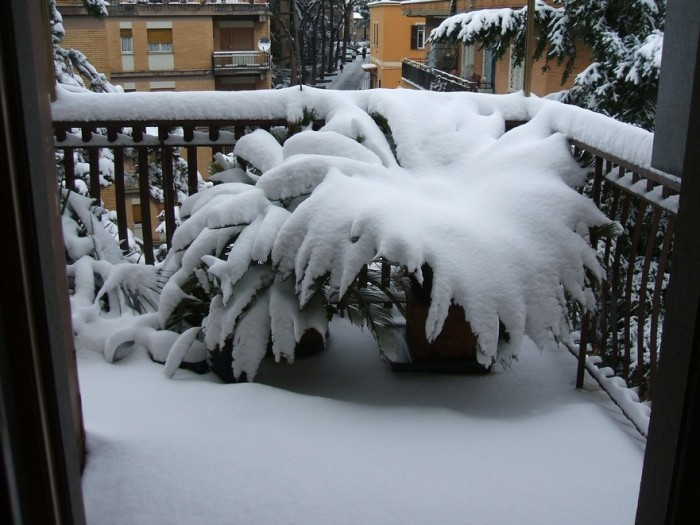 Cycas revoluta covered in snow, Rome Feb 2012